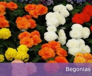 Brightly coloured, double flowering Begonias.