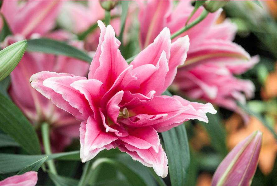 roselily elena