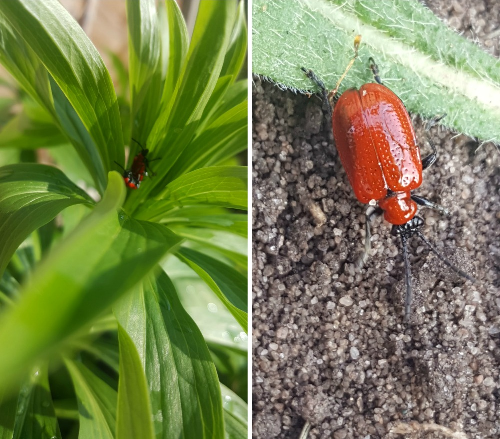 Look out for lily beetles harts nursery the lily bulb specialists nows the time to start checking your foliage on your lilies and fritillaria for the dreaded scarlett beetle ive just been out in my garden and found 4 izmirmasajfo