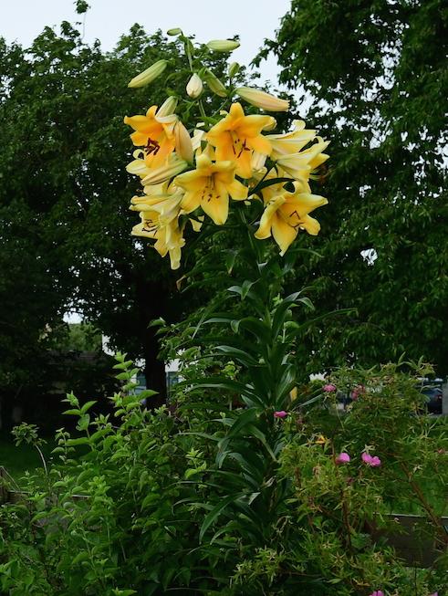 tree lilies