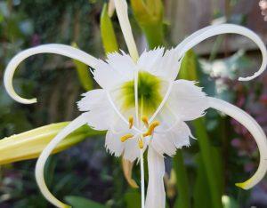 Hymenocallis Festalis white